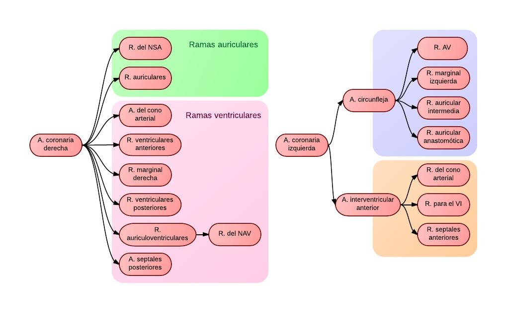 Anatomía - Cardiomed