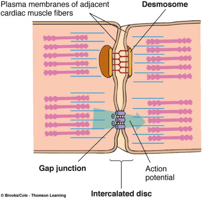Histología - Cardiomed